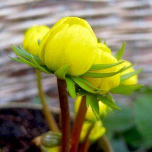 Gele ranonkel in de tuin - Piek Zweverink Hoveniers