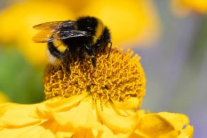 Bij op gele bloem in natuurtuin - Piek Zweverink Hoveniers