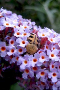 Bij tussen lila bloemen in natuurtuin - Piek Zweverink Hoveniers