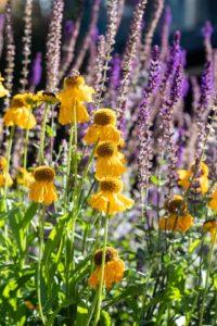 Bloeiende gele en paarse bloemen - Piek Zweverink Hoveniers