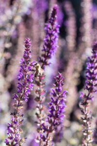 Paarse kleurige bloemen - Piek Zweverink Hoveniers