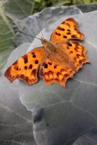 Vlinder op koolblad in natuurtuin - Piek Zweverink Hoveniers