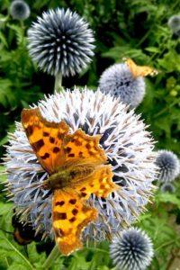 Vlinders en bijen in de tuin - Piek Zweverink Hoveniers