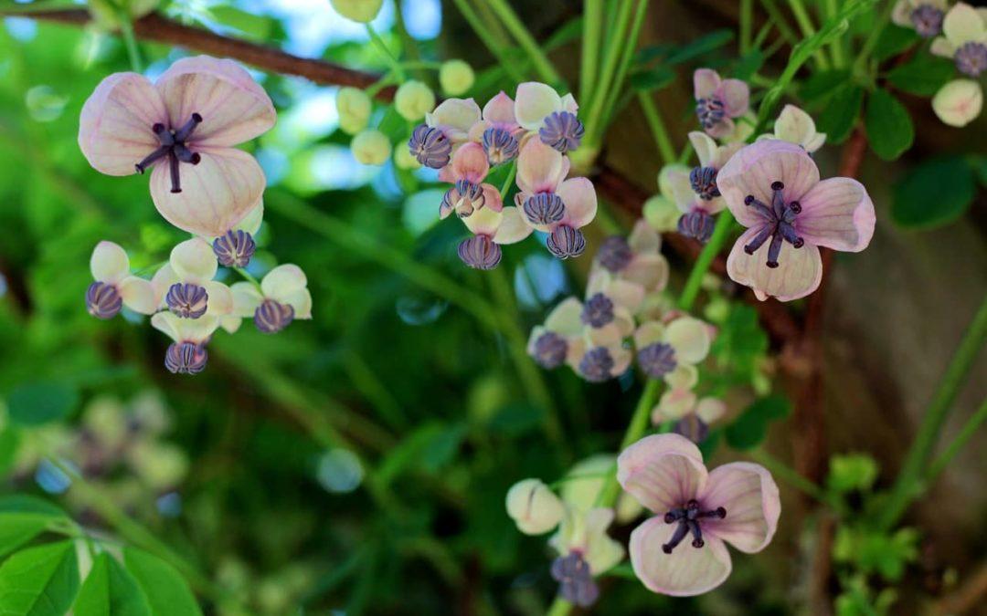 Akebia quinata klimplant