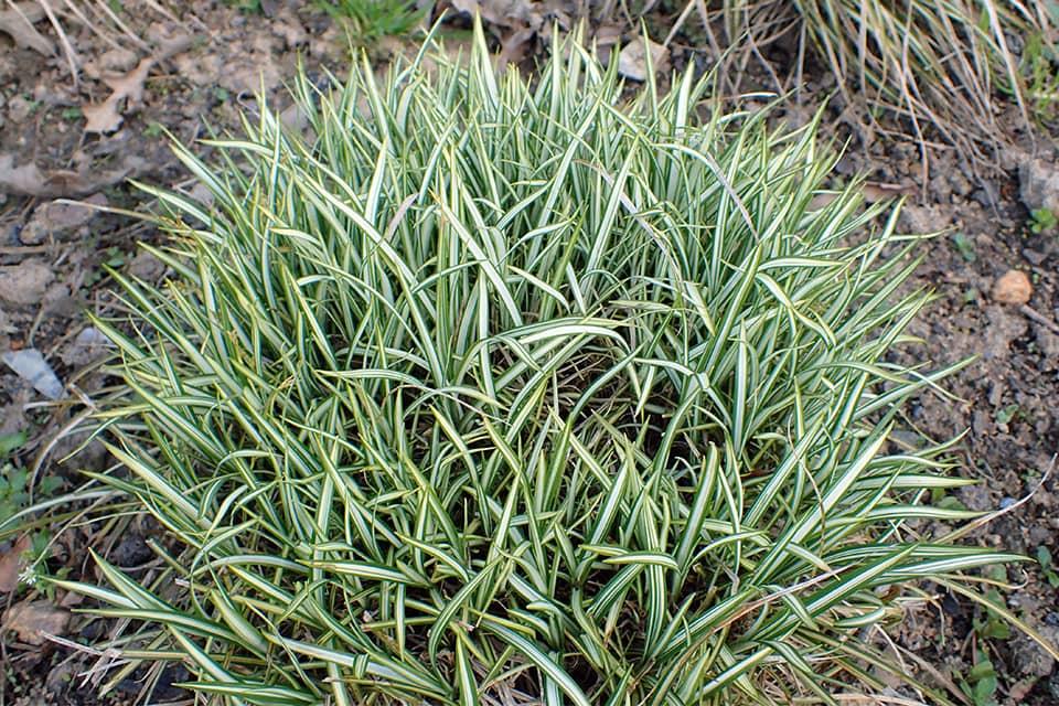 Carex variegata - Piek hoveniers