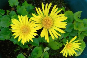 Doronicum Little Leo - Piek Zweverink Hoveniers