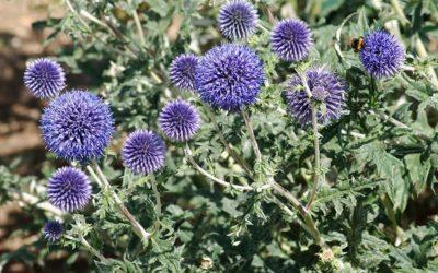 Echinops Veitch Blue