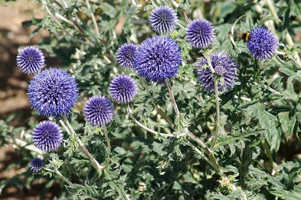 Echinops Veitch Blue - Piek Zweverink Hoveniers