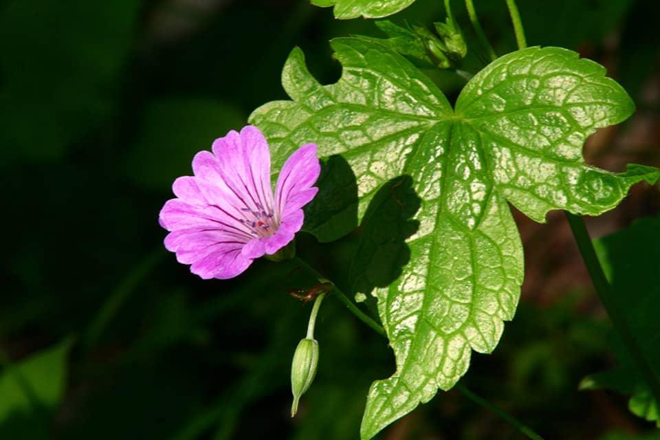 Geranium nodosum - Piek hoveniers