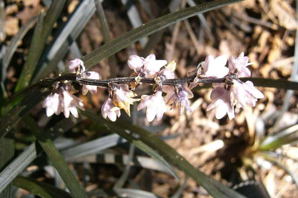Ophiogon planiscapis Niger - Piek Zweverink Hoveniers