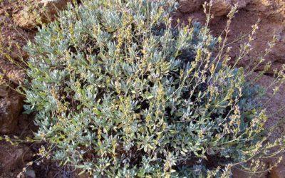 Salvia nemorosa Blaukonigin