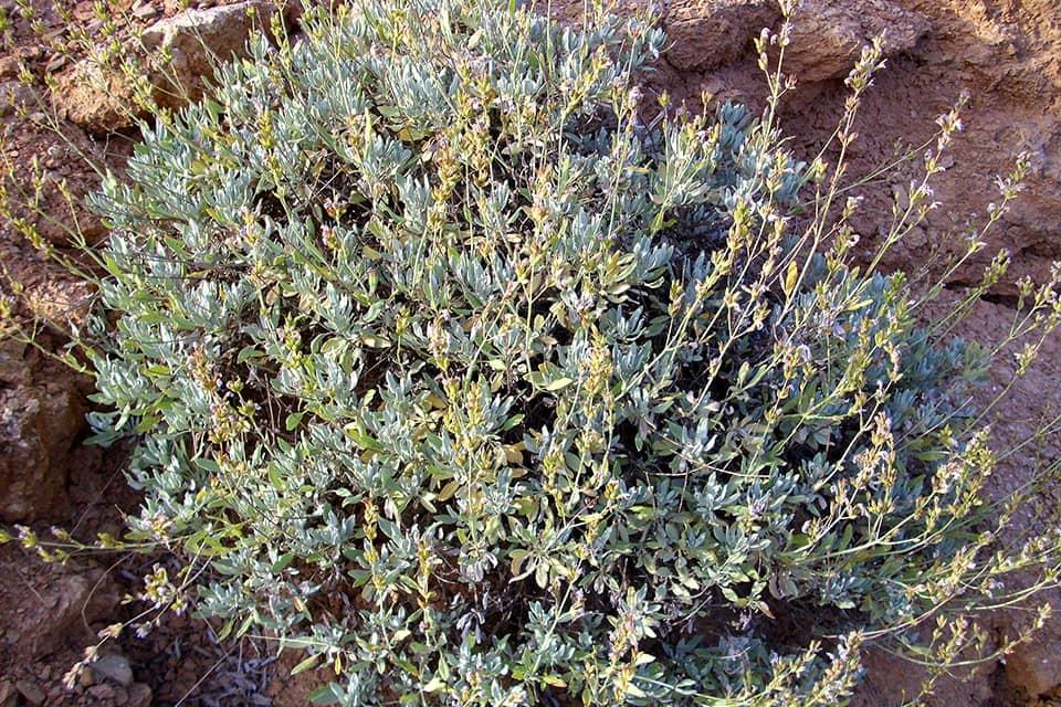 Salvia Blaukönigin - Piek hoveniers