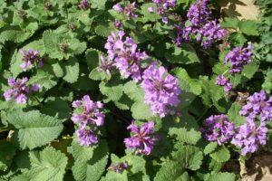 Stachys grandiflora - Piek Zweverink Hoveniers