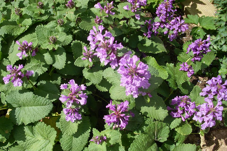 Stachys grandiflora - Piek hoveniers